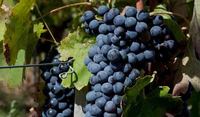 Aglianico grapes