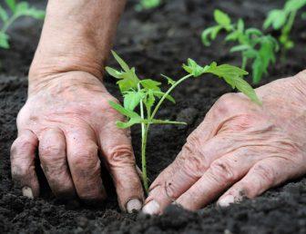 Man planting tomato seedling
