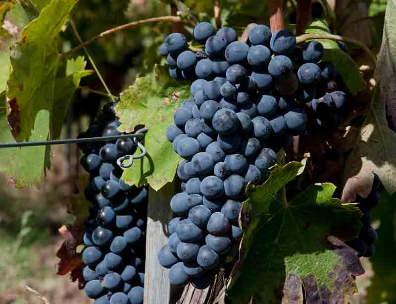 Mesothelioma Cells Slowed by Grape-Seed Extracts