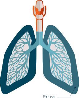 Diagram showing the pleura of the lungs