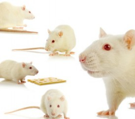 Many white mice with red eyes