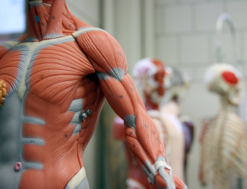 Anatomical model of human muscle