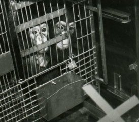 Chimpanzees in a cage